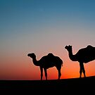 Camels in the desert by philippecap