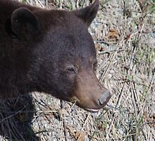 Grazing Bear - Black Bear, Skagway AK by Unruely
