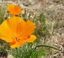California Poppy by supervelma