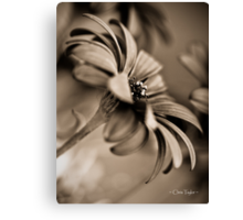 African Daisy Chocolate Style Canvas Print