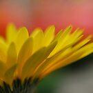 Yellow Sunshine (gerber daisy)  by Jeff Stroud