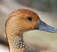Female Whistling Duck and she says I'm sweating ducks aren't supposed to sweat by imagetj