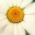 Laneside Daisy by Stan Owen