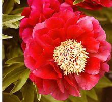 Peony Flower at the Central Experimental Farm by Josef Pittner