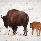 Bison and Calf in Snow by cavaroc