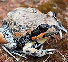 Giant Banjo Frog by EnviroKey
