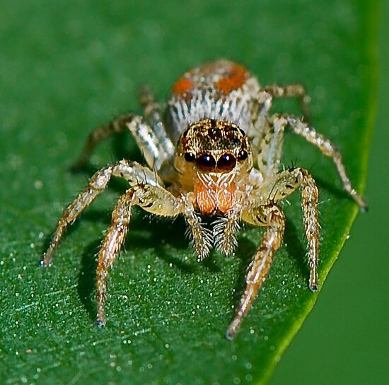 Jumping Spider by Tom Piorkowski