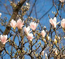 Magnolia Blossoms by DonDavisUK