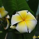 Plumeria Dreams by Mattie Bryant