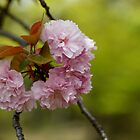 Cherry Blossoms at Ninnaji by nekineko