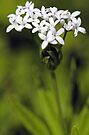-Sweet Woodruff- by T.J. Martin