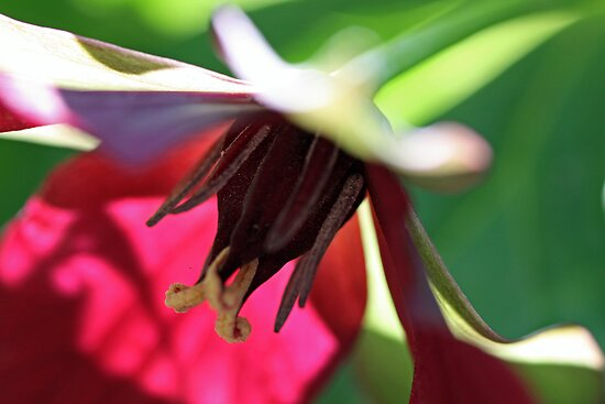 Wonderful Red Trillium by T.J. Martin
