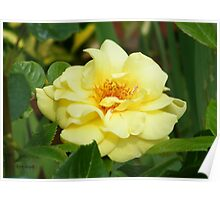 Yellow Sunshine Rose Poster