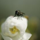 Fly Macro by Sam Mortimer