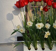 Window Box with Red Tulips by Brian Middleton