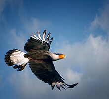 Crested cara cara in flight by bettywiley