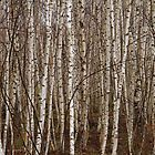 Birch Trees by Bill McMullen