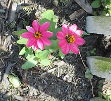 The Pink Cosmos and the Fence by angieschlauch
