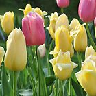 garden of pink and yellow tulips by 1busymom