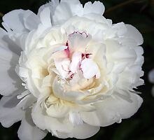 White With A Hint Of Color Peony by kkphoto1