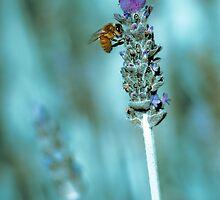...lavender blue... by Geoffrey Dunn