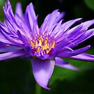 Exotic Waterlily by lilcanuk
