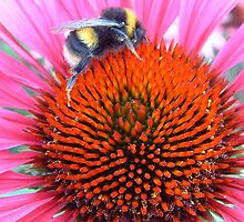 BUMBLE BEE IN FLOWER by DAVE SNEYD