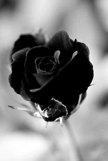 Black Rose by Ian Sanders