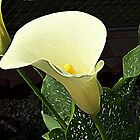 Calla Lily by Cathy O. Lewis