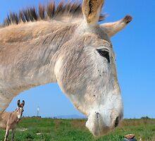 donkey by lorindamin