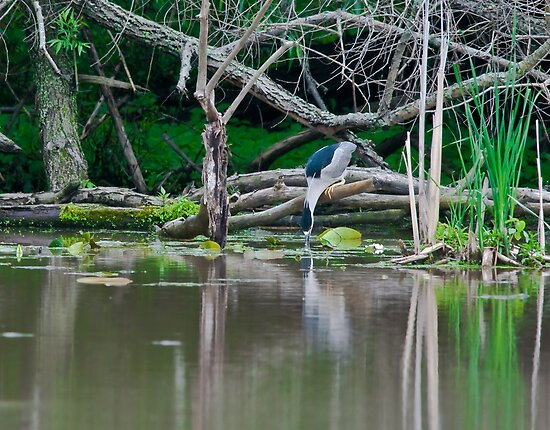 Black-Crowned Heron by (Tallow) Dave  Van de Laar