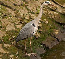 Grey heron fishing by Jon Lees