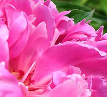 Pink Peony Petals by Stephen Thomas