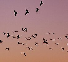 Galahs at Sunset by Debbie  Widmer