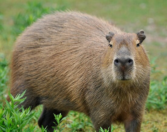 A Cabybara by Corkle