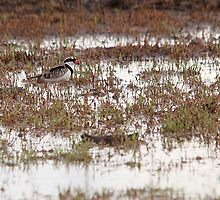 Black-fronted Dotterel by EnviroKey