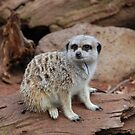 Meerkat by KeepsakesPhotography Michael Rowley
