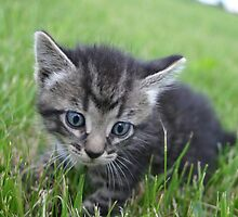 Siberian Kitten in the grass outside on farm by PhotoCrazy6