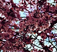Cherry Blossoms on a Blue Day by laurenpittard