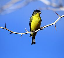 Bird on a Thorn by RichImage