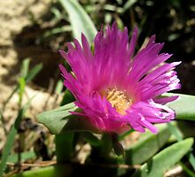 Carpobrotus glaucescens by Oliver Parish