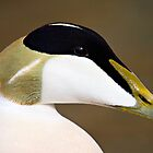 Male Eider Duck Portrait - Somateria mollissima by David Lewins LRPS