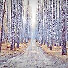 Birch forest 2 by seawhisper