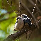 Red-breasted Nuthatch - chicks huddling after a meal by Joy Danen