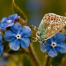 Adonis Blue Underwing by Durotriges