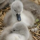Cygnets on the nest by MendipBlue