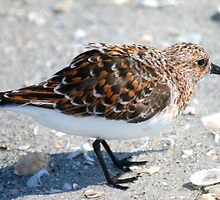 Ruddy Turnstone by Jcook