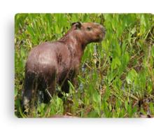 Wet capybara Canvas Print