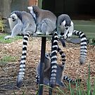 Ring- Tailed Lemurs (Lemur catta), Adelaide Zoo, South Australia by Adrian Paul