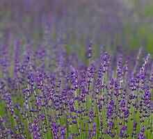Purple Haze by Rebecca Cozart